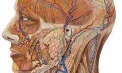 Vascular Anatomy of the Neck