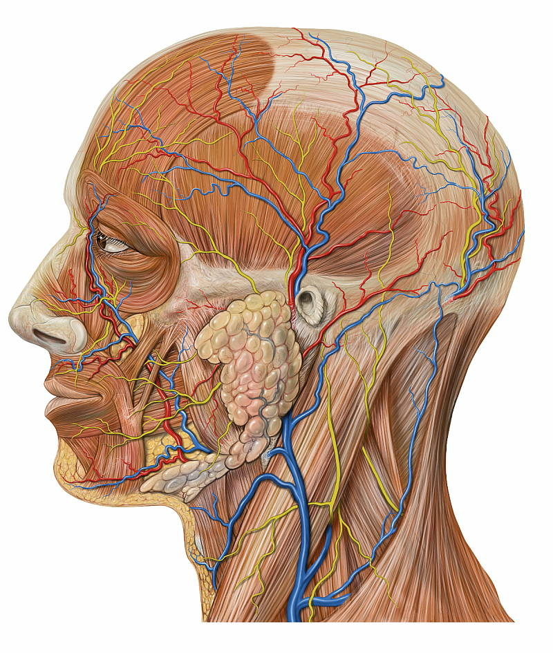 Vascular Anatomy Of The Neck Ent Clinic Sydney
